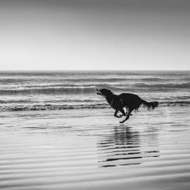 See how she runs by Sunelle Schietekat - Animals - Dogs Running ( border collie, black and white, beach, dog, running )