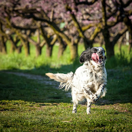 Happiness by Nicola Adami - Animals - Dogs Running ( spring flowers, dogs, running, springtime )
