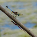 Blue Dasher and Longjawed Orb Weaver