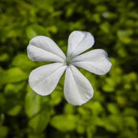 Single Flower by Rahul Manoj - Novices Only Flowers & Plants ( five, petals, green, white, flower )