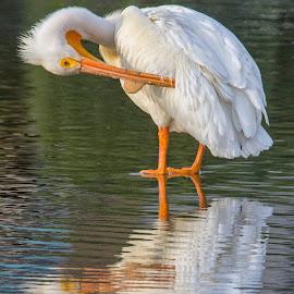 Adjusting the Feathers by Joe Chowaniec - Animals Birds ( water, bird, reflection, nature, pelican )