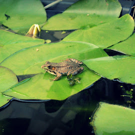 Lily-Pad by Alyssa Breeden - Animals Amphibians ( nature, toad, frogs, amphibians, float, pond, lily-pad )