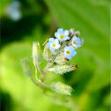 Strict forget-me-not