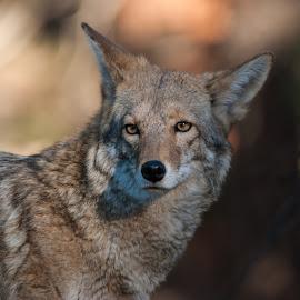 Coyote by David Glenn - Animals Other Mammals ( coyote, wild, animals, in the wild, wildlife )