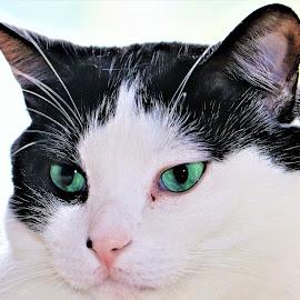My Sweet Boy by Linda    L Tatler - Animals - Cats Portraits (  )
