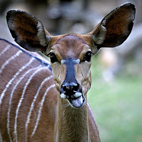 Nyala Ewe by Pieter J de Villiers - Animals Other