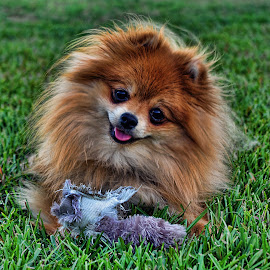 Gypsy being good by Tony Austin - Animals - Dogs Portraits ( pom, pet, puppy, dog, pomeranian, animal )