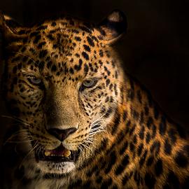 Dark leopard by Mauritz Janeke - Digital Art Animals ( big cat, hunter, predator, uae, dark, mauritz, leopard )