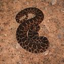 Western Massasauga Rattlesnake