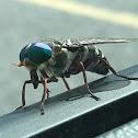 Greenhead Horse Fly (aka Salt Marsh Greenhead)