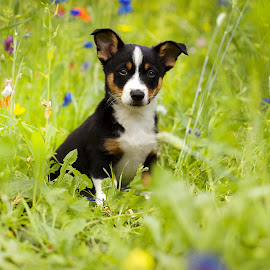 Jules by Judith Vrugt - Animals - Dogs Puppies ( summer, puppy, portraits, dog, spring, puppy portrait )