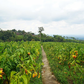 tobacco plantation by Novalina Soewandhie - Landscapes Prairies, Meadows & Fields ( countryside, travelling, plants, tobacco, farmland, travel, travel photography, fields )