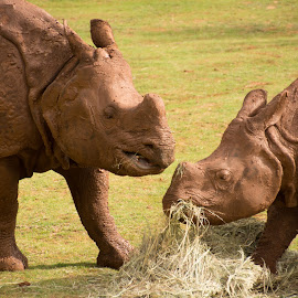 Mother and Son by Eva Ryan - Animals Other Mammals ( mother, hay, eating, rhino, oklahoma_city_zoo,  )