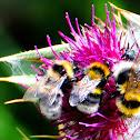 Garden bumblebee; Abejorro de los huertos