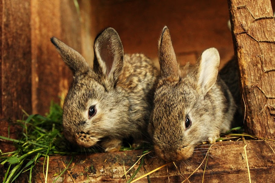 Bunnies by Nicu Buculei - Animals Other Mammals ( rabbit, bunny, cute, animal,  )