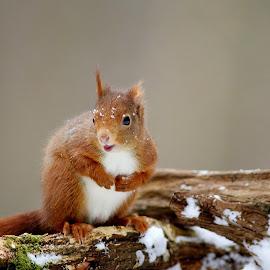 Squirrel in winter  by Gérard CHATENET - Animals Other Mammals (  )