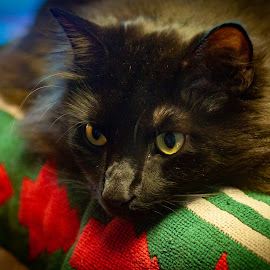 Severus #4 by Mary Phelps - Animals - Cats Portraits ( cats, cat, black, portrait, canon,  )