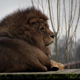 lion by H Osborne - Animals Lions, Tigers & Big Cats