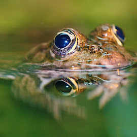 Frog's eyes by Gérard CHATENET - Animals Amphibians