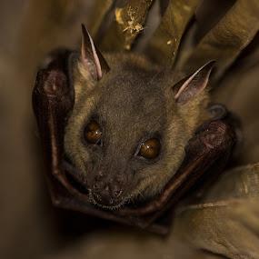Fruit Bat by Andy Goo - Novices Only Wildlife ( fruit, wings, bat, brown, gleam, eyes )
