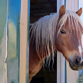 Blondes Have More Fun by Barbara Brock - Animals Horses ( equine, horse head, blond horse mane, horse, beautiful horse )
