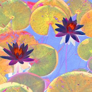 Water Lillys 8 x 10.jpg