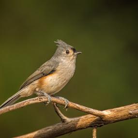 Dead Branch by Roy Walter - Animals Birds ( bird, wild, wildlife, titmouse, animal )