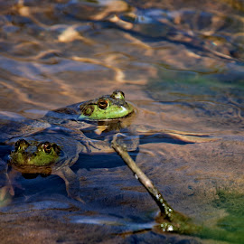 Mating by Todd Yoder - Animals Amphibians ( water, gren, ripples, mating, frogs )
