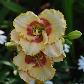 Sixth Sense Daylily by Debbie Johnson MacArthur - Flowers Flower Gardens