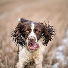 Go crazy by Johnny Ljung - Animals - Dogs Playing ( dogs, springer spaniel, pet, dog, animal )