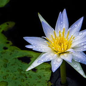 Wet Lotus by Amril Nuryan - Nature Up Close Flowers - 2011-2013 ( lotus, nature, green, wet, close up, flower )