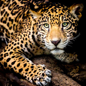 by Judy Rosanno - Animals Lions, Tigers & Big Cats ( jaguar, august 2017, perched, san antonio zoo,  )