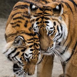 Tender Tigers by Waldemar Dorhoi - Animals Lions, Tigers & Big Cats