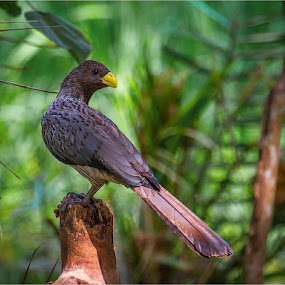 Western Plantain Eater by Stephen Hooton - Animals Birds (  )