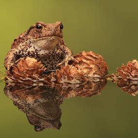 Common European Toad by Ceri Jones - Animals Amphibians ( reflection, amphibian, toad, portrait )