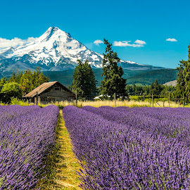Lavender by Chris Bartell - Landscapes Prairies, Meadows & Fields ( mountain, lanender, hood river, mt hood, landscape, hood )