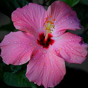 by Carmen Quesada - Flowers Single Flower ( hibiscus, single, pink, waterdrops, flower )