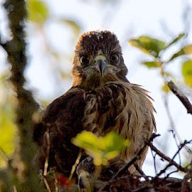 Baby Buzzard by Charlie Davidson - Animals Birds ( bird, scotland, bird of prey, nest, buzzard )