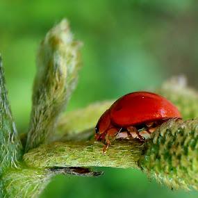 Red Ladybug by Adnan Hidayat Prihastomo - Instagram & Mobile Other ( macro, ladybug, insect )