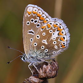 Male Common Blue by Chrissie Barrow - Animals Insects & Spiders ( spots, orange, wild, butterfly, common blue, white, antennae, insect, bokeh, seedhead, blue, wings, legs, brown, animal, markings )