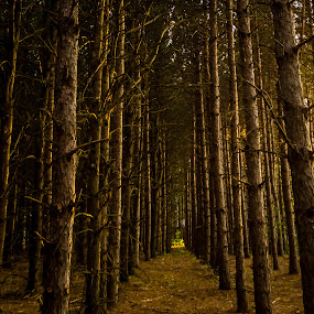 Tall Trees by Chris Mowers - Landscapes Forests ( michigan, trees, pine trees, pine, evening )