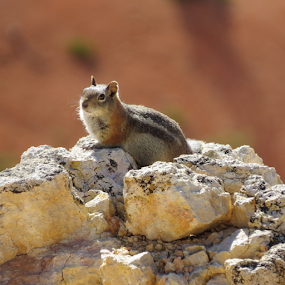 Chill N by Hal Gonzales - Animals Other Mammals ( looking, chipmunk, relaxing, rocks, mammal,  )