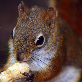 Nuts by Philip O'Brien - Animals Other Mammals ( wild, peanut, wood, furry, eating, nut, rodent, squirrel, mammal,  )