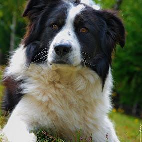 Bobi by Ioan-Dan Petringel - Animals - Dogs Portraits ( animals, romania, dog, friend, portrait )
