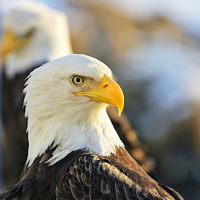 Morning Light by Capt Jack - Animals Birds ( amazing, fishing alaska, flight, wow, eagle, alaska, raptor, bald eagles, bering sea, birds, patriot )