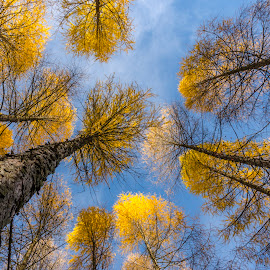 The Autumn Larice. by Dan Dumitrache - Nature Up Close Trees & Bushes ( sky, blue, autumn, trees, yellow )