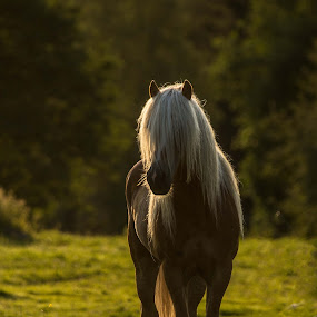 golden by Peter Engman - Animals Horses