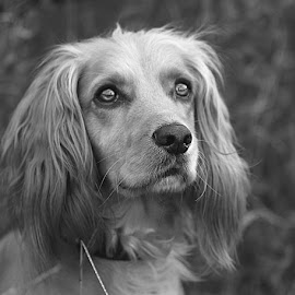 Mono Girl by Chrissie Barrow - Black & White Animals ( monochrome, black and white, cocker spaniel, pet, ears, grey, dog, mono, eyes, animal )