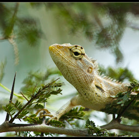 Changeable Lizard by Md Mukibul Islam - Animals Reptiles ( lizard, changeable lizard, wildlife )