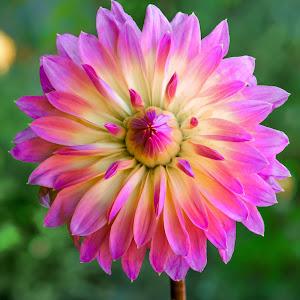 Pink & yellow Dahlia #12-1.jpg